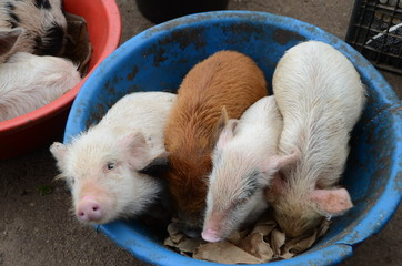 pigs sold in the market