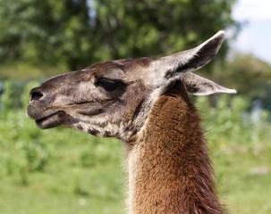The beautiful portrait of a lama