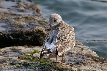 The gull is cleaning her feathers