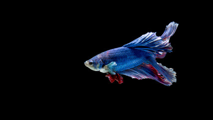 Blue and red siamese fighting fish, betta fish isolated on black
