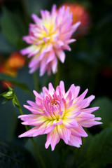 Beautiful colorful chrysanthemum flower in garden, Chiang Mai, T
