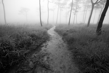 Small way in meadow to pine forest with fog background back and