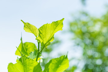 Close up mulberry leaf with blur garden background