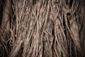 Nature big tree root for background