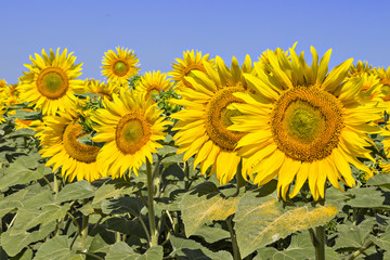 Sunflowers field under the summer blue sky and bright sun lights