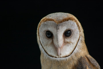Barn owl closeup with black background