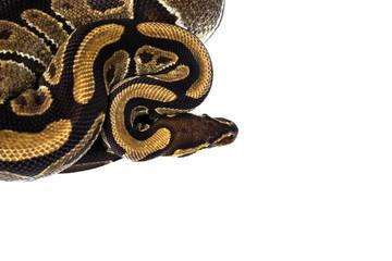 Ball Python (Python regius), in studio against a white backgroun