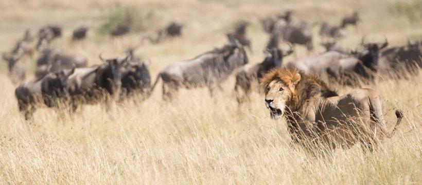 Lion watches as wildebeest pass behind him