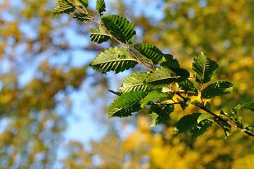 elm branch
