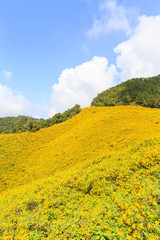 Mexican sunflower mountian in Mae Hong Son