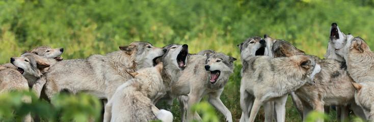 Papiers peints Loup meute de loup gris