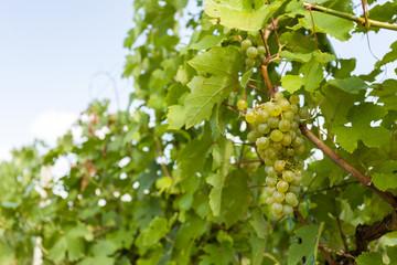 grapes on Vineyards under Palava. Czech Republic