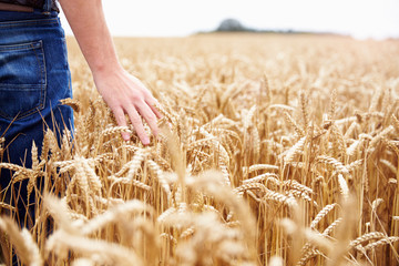 Farmer Walking Through Field Checking Wheat Crop Wall mural
