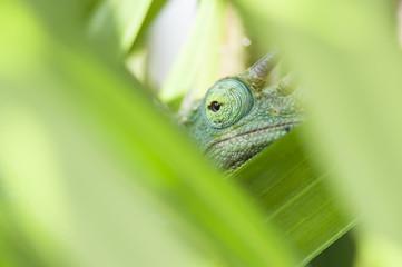 Jacksons Chameleon Eye
