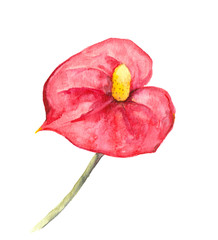 Tropical flower - Anthurium or red cala. Watercolor
