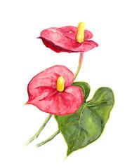 Exotic flower - tropical Anthurium. Watercolor