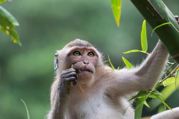 Poster Monkey Aap in een boom (denkt na met een tandenstoker in zijn hand)