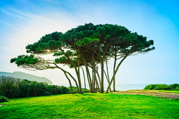 Maritime Pine tree group near sea and beach. Baratti, Tuscany.
