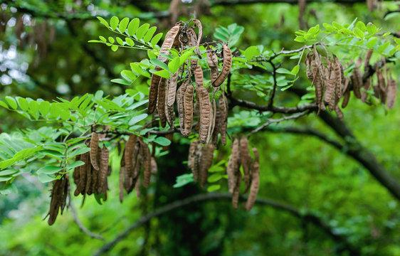 Black locust seed pods