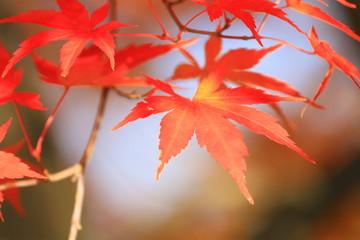 秋のイメージ もみじ
