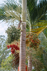 Red Areca Nut Palm on tree