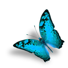 Beautiful Flying Vagrant Butterfly in fancy light blue color pro