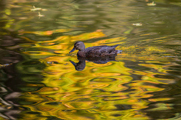 Wild duck (Anas platyrhynchos) floats on the surface of the pond, which reflects the yellowed foliage