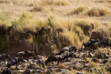 masai mara crossing,