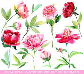 Set of different red, pink peonies, leaves for design. Watercolor flowers. Set of floral elements to create compositions.