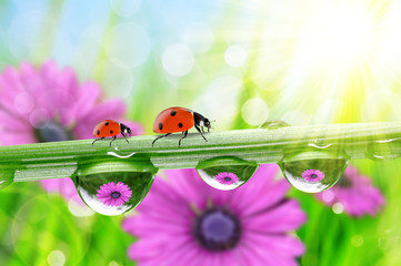 Wall Mural - Flowers in the drops of dew on the green grass and ladybirds.
