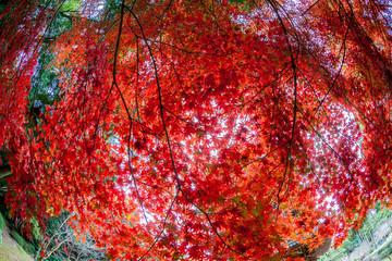 momiji tree in kyoto japan