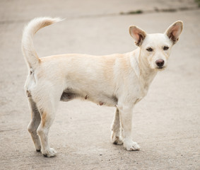 Female dog is breed native in Thailand.