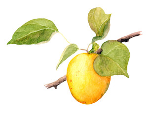 Apricot fruit branch, Watercolor illustration