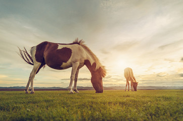 Horses on the field grass with sunset vintage tone