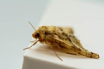 Motte, braun weiß in einer Nahaufnahme. Nach ihrem Flug gelandet und mit der Kamera festgehalten