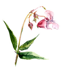 Pink isolate balsam flower in watercolor