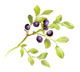 Blueberry branch with leaves and berries. Watercolor