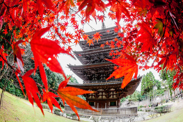 Temple and Red maple trees in Kyoto (Japan)