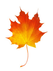 autumn maple leaf isolated on a white background