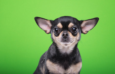 Beautiful chihuahua dog. Animal portrait. Stylish photo. Green background. Collection of funny animals