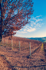 Wall Mural - Panoramic view of vineyards of Piedmont in autumn