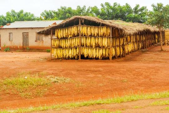Tobacco leafs in Malawi