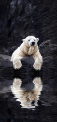 White bear on the rocks, Lying polar bear situated on a rock, re