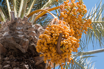 Cluster of dates on the palm tree