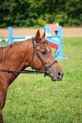 Портрет рыжей лошади на фоне препятствия