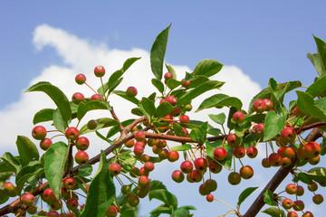 Zierapfelzweig mit mit vielen kleinen roten Äpfeln