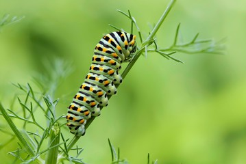 Machaon butterfly's caterpillar