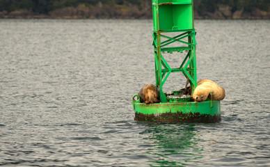 Sea Lions Slumber Ocean Buoy Reserrection Bay Sea Wildlife