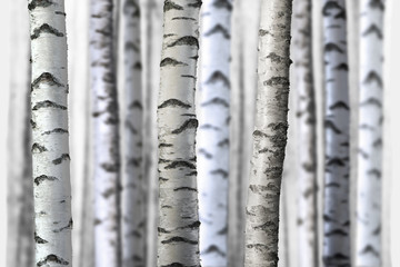 seamless birch trees