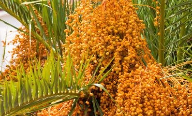 Palm Tree Dates